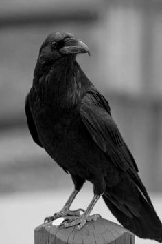 Trendy Black Bird Photography Blackbird - Pets World The Crow, Animals And Pets, Funny Animals, Cute Animals, Black Animals, Beautiful Birds, Animals Beautiful, Beautiful Pictures, Memes Arte