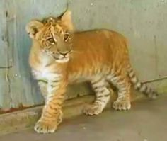 Liger cubs mortality rate is just as normal as that of the lions and tigers