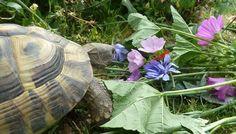 Griechische Landschildkröten Tortoises, Turtle, Cats, Merlin, Terrarium, Dog, Guinea Pigs, Reptiles, Pet Dogs