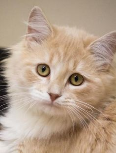 Julian is an adoptable Domestic Long Hair - Orange And White, Maine Coon Cat in Chicago, IL Here comes Pickle! What a silly a little nickname for this handsome baby boy! Uber soft, he has ... ...Read more about me on @petfinder.com