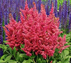 Love it...Astilbe Fireberry - use with white Shasta daisy, hostas, and maybe something purple (sage or liriope)