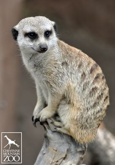 Cheyenne Mountain Zoo has seven meerkats split into three different mobs.  Each meerkat plays an important role in their mob by watching for predators or tending to housekeeping chores.