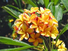 """SO beautiful... The """"Embers Plumeria""""... also very highly fragrant!! Also a very heavy bloomer!!   http://store.exoticplumeria.com"""