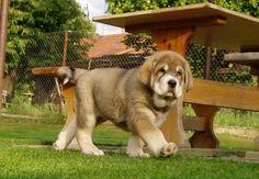 Raza Mastín Español http://www.mascotadomestica.com/adriestramiento-perros/raza-mastin-espanol.html
