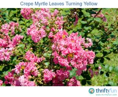 This is a guide about crepe myrtle leaves turning yellow. Crepe myrtle trees are susceptible to a few plant diseases or insect infestations that may damage their leaves.