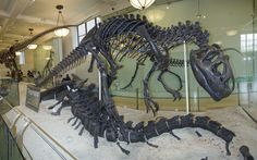 Allosaurus looms over Apatosaurus remains, American Museum of Natural History, New York, NY. © Mark Ryan