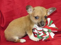 Petango.com – Meet Little Ceasar's, a 2 months 27 days Chihuahua, Short Coat / Mix available for adoption in MODESTO, CA