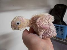 shut the front door!  I don't know why but this is stupid cute.  (baby cockatoo)