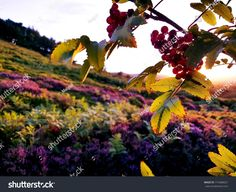 Photo of a couple red and green twigs of rowan berry in the foreground and  purple, pink, violet heathland, moorland in the background during sunset or sunrise.