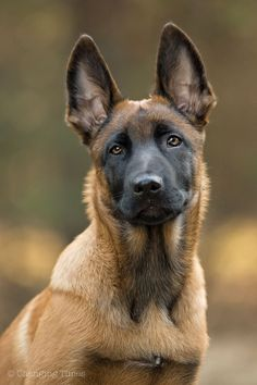 "Belgian Malinois  Hope you're doing well.Hope you're doing well.From your friends at phoenix dog in home dog training""k9katelynn"" see more about Scottsdale dog training at k9katelynn.com! Pinterest with over 20,400 followers! Google plus with over 154,000 views! You tube with over 500 videos and 60,000 views!! LinkedIn over 9,200 associates! Proudly Serving the valley for 11 plus years"