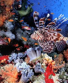 The Red Sea Reef. One of the world's top 18 coral hotspots. It's colourful reefs are home to an abundance of marine life, including the venomous red lionfish. Life Under The Sea, Under The Ocean, Sea And Ocean, Poisson Mandarin, Fauna Marina, Salt Water Fish, Underwater Life, Ocean Creatures, Orcas
