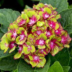 Hydrangea macrophylla Pistachio
