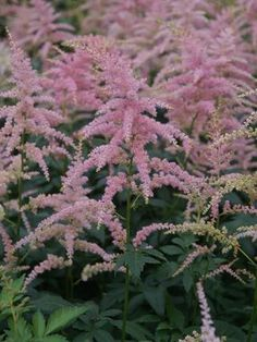 Pure, rich pink plumes of Astilbe Bressingham Beauty sway above lacy deep green foliage. Airy plumes in summer move with the slightest breeze. Does well in planting tubs and mixed containers. Seeds heads can be left on for winter interest.