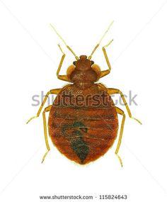 Hemiptera Fotos, imagens e fotografias Stock   Shutterstock