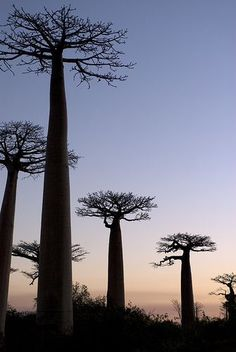 Sunset Baobabs, Morondava, Madagascar sure it's a destination, though tbh these trees are kinda ugly. but, good reminders of french lessons and le petit prince! Le Baobab, Baobab Tree, Pays Francophone, Tree Leaves, Plantar, Perfect World, Amazing Nature, Beautiful Landscapes, Mother Nature
