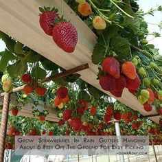 grow strawberries in rain gutters hanging about 6 feet off the ground for easy picking