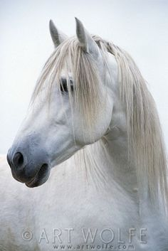 Camargue horses represent the ancient breed of horses that inhabits the Camargue part of Southern France. Camargue are small horses that are widely popular for their intelligence and agility. They are extensively used for games and long distance riding.
