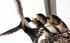 An adult swallow feeding its chicks. The birds have nested on top of CCTV bank camera in the  Shandong Province of  China