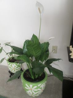 White flowers Peace Lily, Spathiphyllum flowering Peace Lily, Houseplants, Quilling, White Flowers, Gardens, Bedspreads, Indoor House Plants, Outdoor Gardens, Quilting