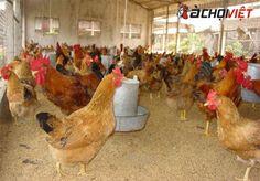 Gà Tàu Vàng – bí quyết nuôi năng suất khủng Kiến Thức Gà Chọi Veterinary Medicine, Rooster, Animals, Agriculture, Ministry, Asia, Animales, Animaux, Veterinary Studies