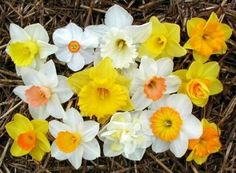 daffodils grew like weeds in Alabama, so They will be included in my half sleeve garden