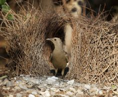 Bowerbird decorating its bower to attract a mate by Flickr user Sunphlo