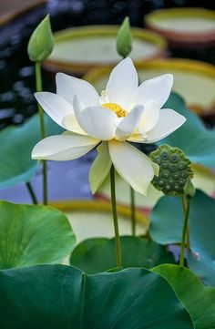 Pretty Lotus Flowers