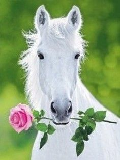 White Horse With A Rose