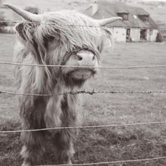 Hairy Cow / Scottish Highland Cattle - fine art black and white photography print by Allison Trentelman | rockytopstudio.com
