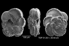 The fine clay sediments that settled on the seafloor in this region during the Cretaceous ensured the excellent preservation of many types of microfossil shells. These high magnification images show three views of a single planktic foraminifer. The shell is so well-preserved that the specimen looks like it died yesterday, not more than 92 million years ago.