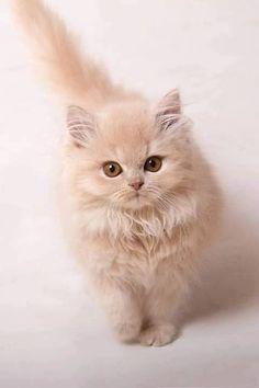 10 teuerste Katzenrassen der Welt – Les plus beaux chats - kittens Puppies And Kitties, Cute Cats And Kittens, Baby Cats, Cool Cats, Kittens Cutest, Dogs, Pretty Cats, Beautiful Cats, Animals Beautiful