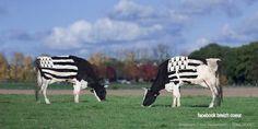 Breton Cows !!