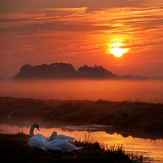 *Swans at dawn, Sunrise is shining through the clouds and fog. Stunning scene!!