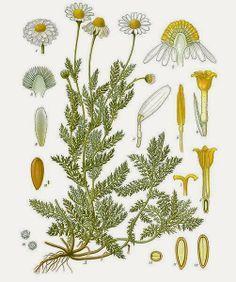 Propiedades, usos y beneficios de la manzanilla y el té de manzanilla.