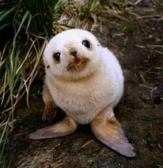 Awe baby white seal :)