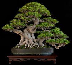 Tiger bark ficus (Ficus retusa)