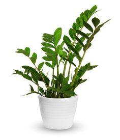 """Le zamioculcas zamiifolia, idéal pour les jardiniers du dimanche : Des plantes d'intérieur """"increvables"""" etfaciles à cultiver - Linternaute"""