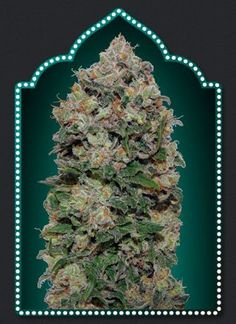 Northern Lights Feminised Seeds by the cannabis seeds breeder 00 Seeds, is a Photoperiod Feminised marijuana strain. This Mostly Indica strain produces a High Indoors: 450 - 500 yield. These seeds are ready to harvest in 50 days in Middle of September. Buy Weed Seeds, Cannabis Seeds For Sale, Funny Weed Pictures, Seeds Online, Seed Bank, Marijuana Plants, Buy Weed Online, Ganja, Gardens