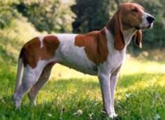 The Schwyzer Laufhund was bred in medieval Switzerland for small game hunting.  Its lithe form is specifically suited to cold, high mountain valley terrain.  The low-maintenance coat does not catch easily on underbrush.  While comfortable with children, strangers, and other dogs, the Schwyzer is assertive & demanding.  It does not generally do well in an urban environment.