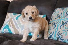 Standard Poodle pups avaliable from Fishburnhomestead.com Giant Schnauzer, Puppies For Sale, Poodle, Homestead, Labrador Retriever, Teddy Bear, Dogs, Animals, Labrador Retrievers