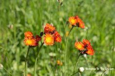 Orange Dandelion (Wildflower) - MOMENTS IN THE GARDEN PHOTOGRAPHY
