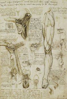 "LÁMINA ""The Throat and the Muscles of the Leg"" Leonardo da Vinci"