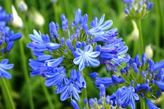 Agapanthus Patriot Agapanthus, Exotic Plants, Trees, Gardening, Flowers, Tree Structure, Lawn And Garden, Royal Icing Flowers, Wood