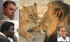 Cecil the lion's last hours and Walter Palmer's  vanity   Daily Mail Online