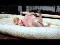 This Dog's Reaction To Feeling A Bed For The First Time After A Life In A Puppy Mill Is So Adorable. | The Animal Rescue Site Blog