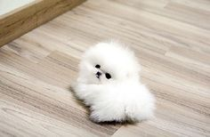 teacup pomeranian puppies images | Zoe Fans Blog