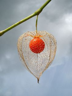 Physalis (goosberry) other wise known as Chinese or Japanese lantern