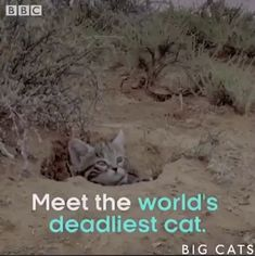 Black footed cats 🔥,Funny, Funny Categories Fuunyy 🔥 Source by funmemepics. Funny Cat Memes, Funny Cats, Kittens Cutest, Cats And Kittens, Animals And Pets, Baby Animals, Cat Memes Clean, Black Footed Cat, Cavalier King Charles Spaniel
