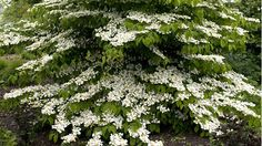 Viburnum plicatum f. tomentosum 'Lanarth' stands out for its shape and form: tiered, horizontal branches covered in heads of large white flowers. Large Flowers, Colorful Flowers, White Flowers, White Flowering Plants, Palmiers, Garden Shrubs, Woodland Garden, White Gardens, Private Garden