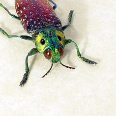 Real Beetle False Yellow Eyes Conservation by REALBUTTERFLYGIFTS, $39.99